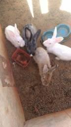 Troco coelho em frangas ou galinha