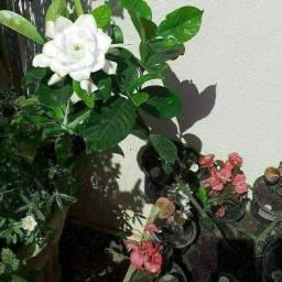 Preços variados diferentes azaleias hibisco bater portas.zap *