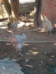 Vendo galinha e falo