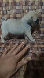 Pug macho 1500