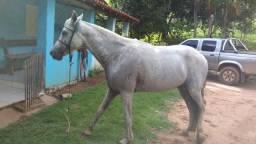 Cavalo Mangalarga Registrado