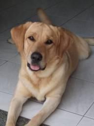 Labrador disponível Cruzamento
