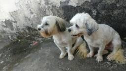 Vendo 2 Cachorrinhos Lhasa Apso