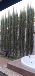 Vendo pinheiros