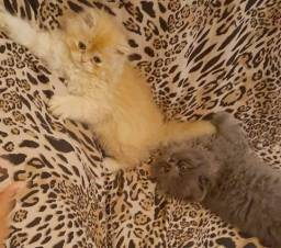 Filhote de gato persa macho