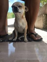 Chihuahua Estou a procura de uma namorada!