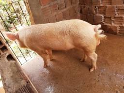 Porco Barrão Reprodutor!!!