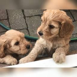 Poodle fêmeas e machinhos já vacinados com todas garantias em contrato