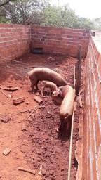 2 porcas e 2 leitoinhas