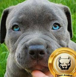 Últimos filhotes de American Bully Blue nose C Pedigree- Pitbull