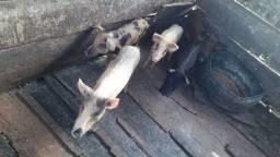 Porcos .