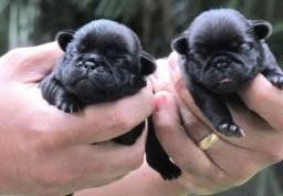 Filhotes Fêmeas de Pugs (duas fêmeas pretas nasceram dia 10/01)