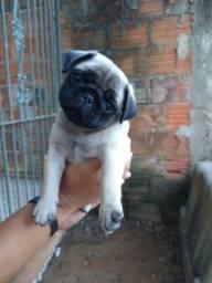 Lindo Pug