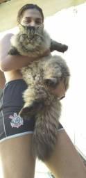Gato Persa namorar