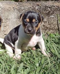 Filhote macho de Terrier Brasileiro (Fox Paulistinha)