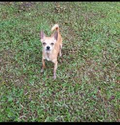 Chihuahua em Matinhos Pr