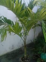 Vendo palmeiras mini Imperial