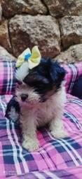 lhasa apso- filhotes muito lindos!!!