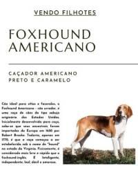 Filhotes Foxhound Americano