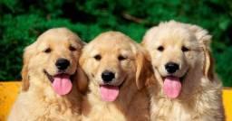 Adoraveis filhotes de golden