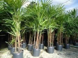 Palmeira Raphis