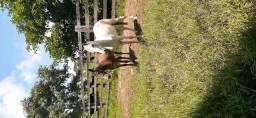 Vendo egua e mula