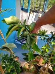 Mudas frutiferas e ornamentação