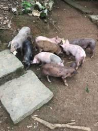 Porquinhos a venda