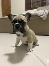 Bulldog francês pedigree