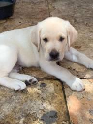 Filhote Labrador branco