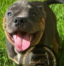 Brazilian Kennel Clube American Bully Blue Nose