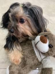 Procura-se namorada para yorkshire terrier