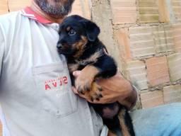 Vendo filhotes de Rottweiler