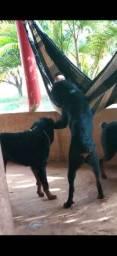 Cachorro  Rottwailer