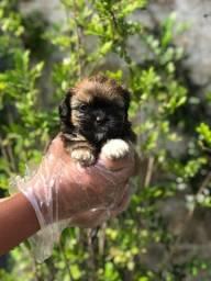 Shih Tzu Filhotes lindos e saudáveis e consulta veterinária gratuita 11.9109.11758
