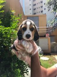 Beagle - Filhotes de Beagle Disponiveis
