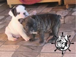 Bulldogue Francês  - Filhotes