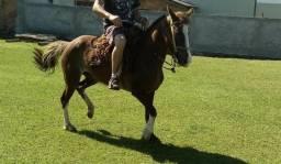 Égua mansa, de laço ( crioulo com manga larga) de montaria, 6 anos com encilha