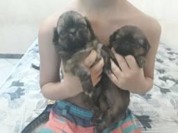Vendo lindos filhotes de shitsu watis 65 992703683