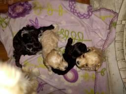 Filhotes de poodles