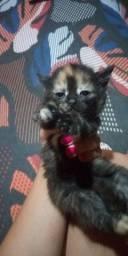 Gatos persa misturado