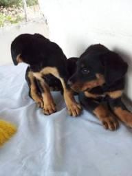 Vendo dois filhotes de rottweiler, femia e macho ,1 mês