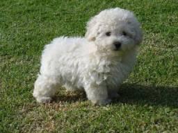 Procuro cachorro poodle pra adoção