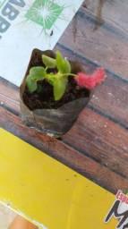 Muda da planta rabo de gato