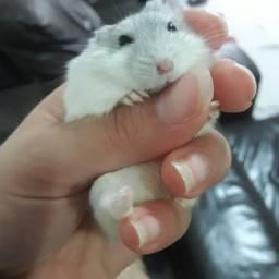 Hamster Anão Russo - Cor Wild Peróla