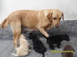 Labrador Macho 2 meses 2 vacinas