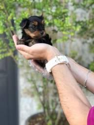 Yorkshire Terrier, lindinhos 03