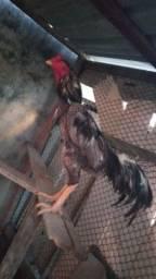 Vendo galo galinha carioca e caboclo