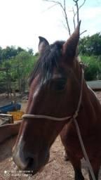 Cavalo campolina castrado
