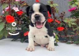 Bulldog francês macho com assistência veterinária